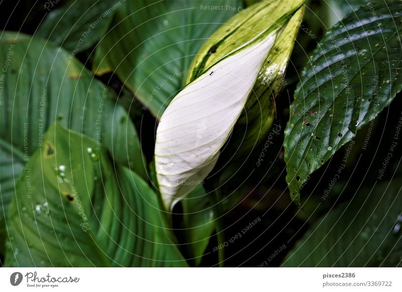 White Anthurium leaf spotted in the Curi-Cancha Reserve Sommer Natur Pflanze gelb organic planen orange nutrition natural ripe season white vegetable sweet