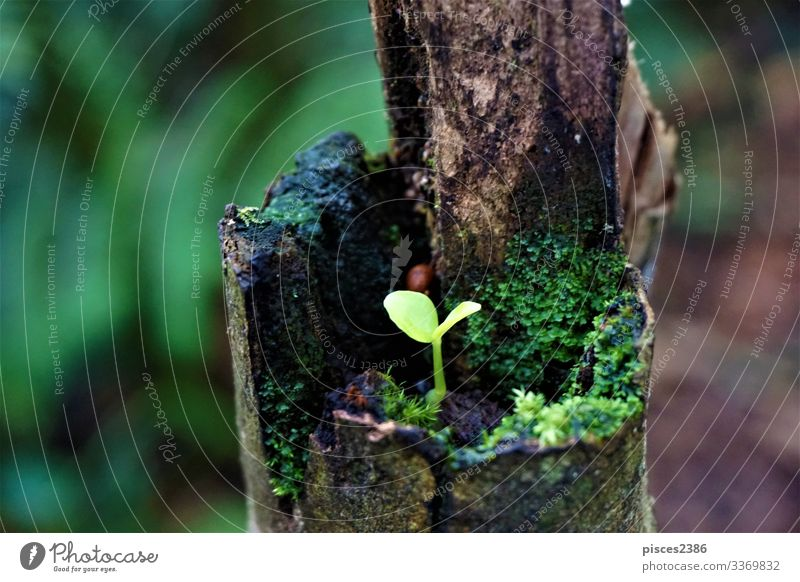 Seedling growing on trunk in Las Quebradas Getränk Natur Pflanze springen plantation planen ripe sapling seedlings organic leaf leaves natural small soil