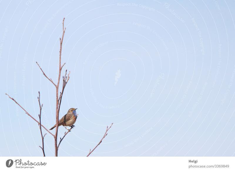 Blaukehlchen sitzt auf einem kahlen Zweig vor blauem Himmel Baum Tier Wildtier Vogel 1 festhalten Blick stehen außergewöhnlich einzigartig klein natürlich braun