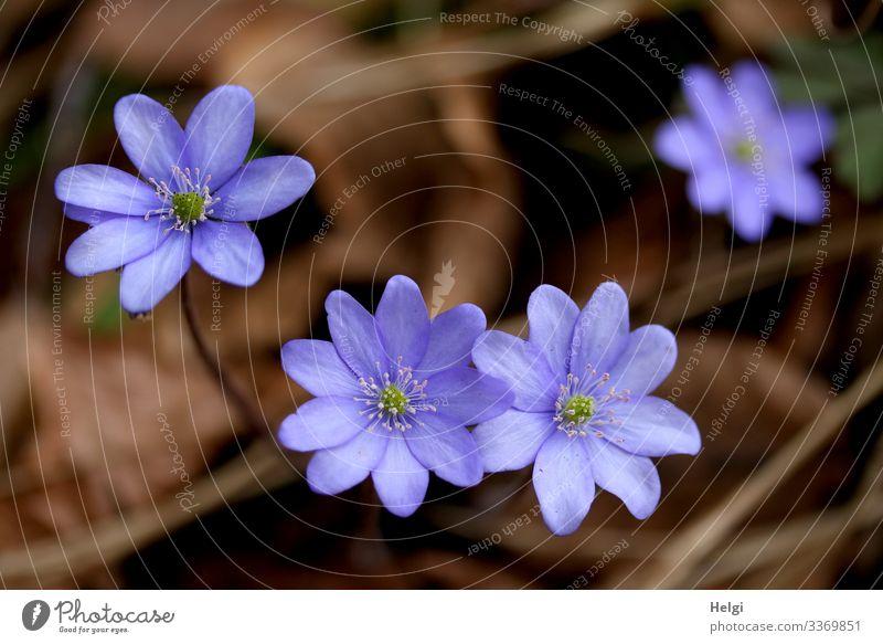lila Leberblümchen am Waldboden aus der Vogelperspektive Umwelt Natur Pflanze Frühling Schönes Wetter Blume Blüte Blühend Wachstum authentisch schön klein