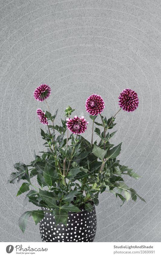 Lila Dahlienblüten in einem Blumentopf Topf Design schön Garten Gartenarbeit Natur Pflanze Blüte Blühend Wachstum grau grün rot schwarz Farbe purpur Pflanzer