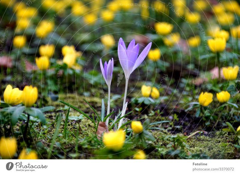 Krokusse Umwelt Natur Landschaft Pflanze Urelemente Erde Sand Frühling Schönes Wetter Blume Blüte Garten Park hell klein nah natürlich gelb grün violett