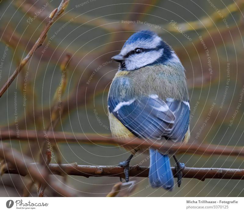 Blaumeise schaut sich um Natur Tier Sonnenlicht Schönes Wetter Baum Sträucher Zweige u. Äste Wildtier Vogel Tiergesicht Flügel Krallen Meisen Kopf Auge Schnabel