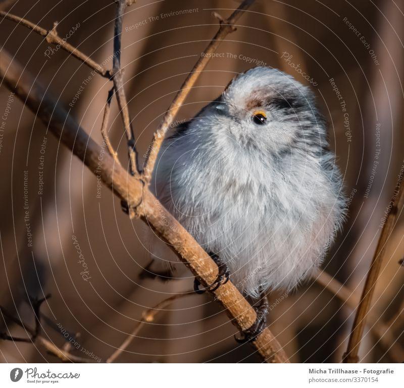 Schwanzmeise im Strauch Natur Tier Sonnenlicht Schönes Wetter Baum Sträucher Zweige u. Äste Wildtier Vogel Tiergesicht Flügel Krallen Meisen Kopf Schnabel Auge