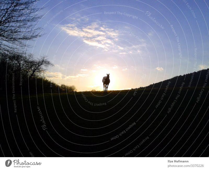 Pferd auf Koppel im Sonnenuntergang Reiten Ferien & Urlaub & Reisen Ausflug Abenteuer Ferne Freiheit Reitsport Natur Landschaft Luft Himmel Wolken Horizont