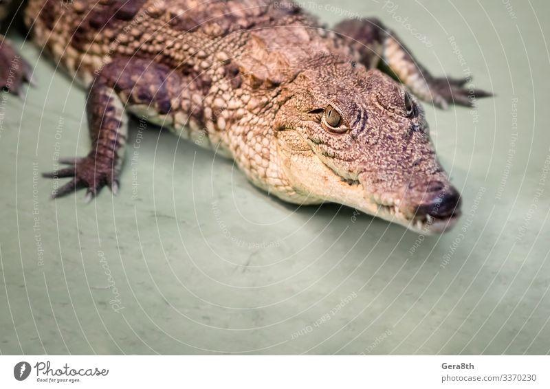 Krokodilkopf isoliert in Nahaufnahme auf grünem Hintergrund exotisch Haut Mund Zähne Zoo Natur Tier Leder wild gefährlich Farbe Alligator groß fleischfressend
