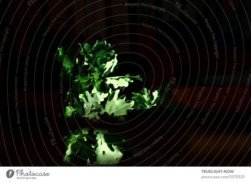Ein Zweig grünes Eichenlaub vor dunklem Hintergrund wird von einem Sonnenstrahl beleuchtet Eichenblatt Sonnenlicht leuchten Blatt Natur Farbfoto dunkel