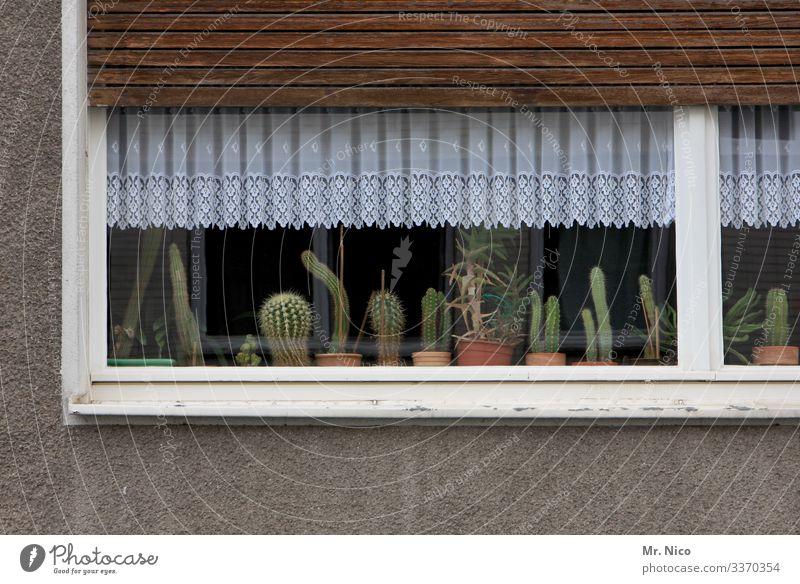 Kakteen auf der Fensterbank Kaktus kaktuspflanze Pflanze Häusliches Leben Gardine Haus Wohnung Vorhang Dekoration & Verzierung Fensterbrett Stillleben grün