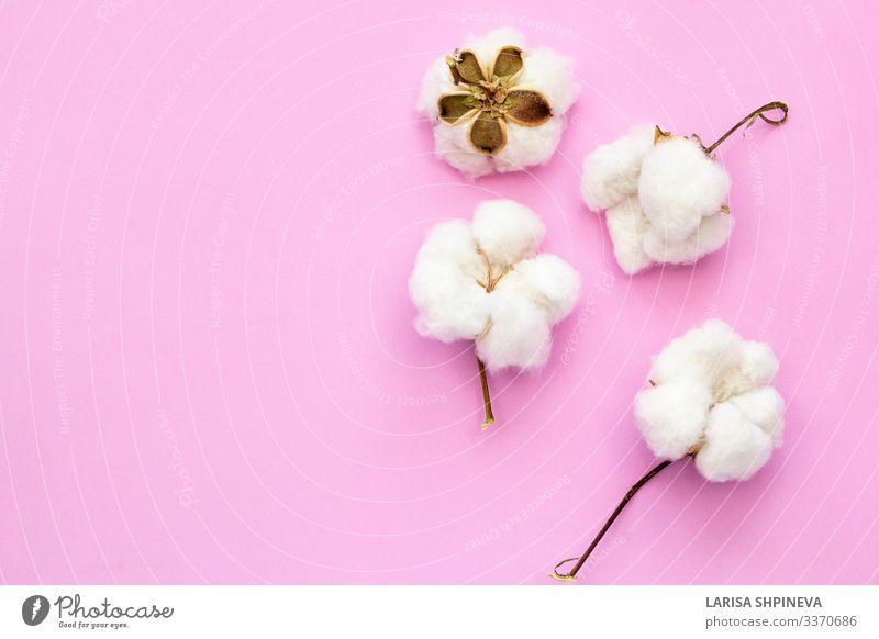 Natürliche Baumwollblumen auf rosa Hintergrund Teller Allergie Dekoration & Verzierung Natur Pflanze Blume Blüte Mode Reinigen Wachstum natürlich Sauberkeit