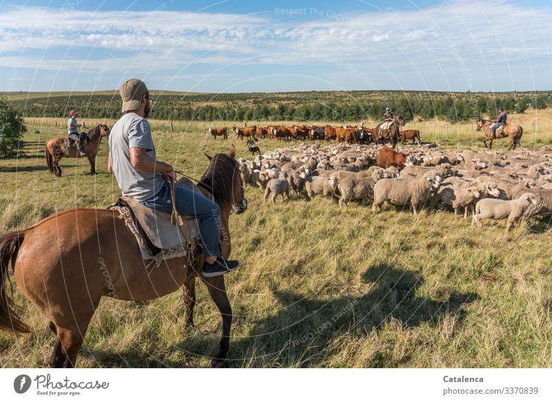 Ich bin doch ein Schaf denkt die Kuh und versteht nicht was die vier Reiter von ihr wollen Landwirtschaft Nutztier Tierhaltung Freilandhaltung Landarbeiter