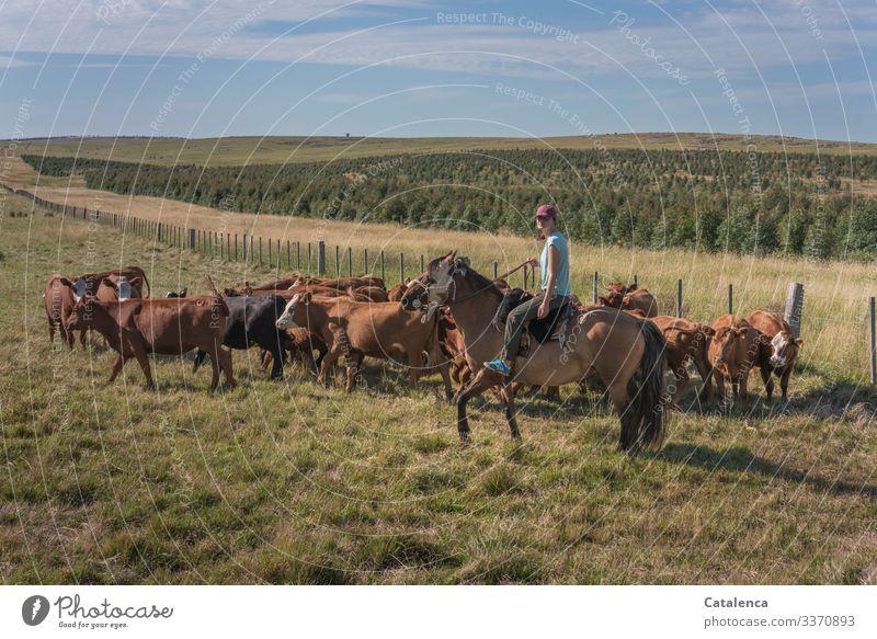 Reiterin hält eine versammelte Kuhherde davon ab auszubrechen Tageslicht schönes Wetter Gras Wolken Himmel Horizont Nutztier Tier Natur Landschaft Pflanze
