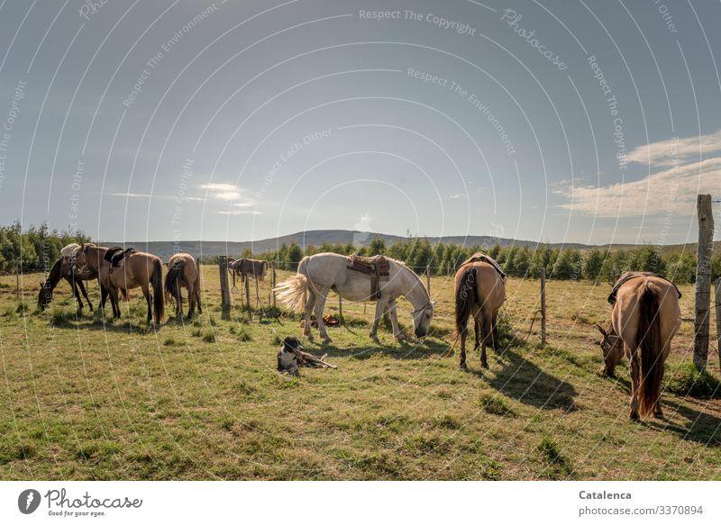 Pferde und Hund am Zaun warten Weiß Grün Sommer Landwirtschaft Himmel Landschaft Tag Tageslicht Wiese Pampa Weide Gras Pflanze geduldig stehen Nutztiere Tier