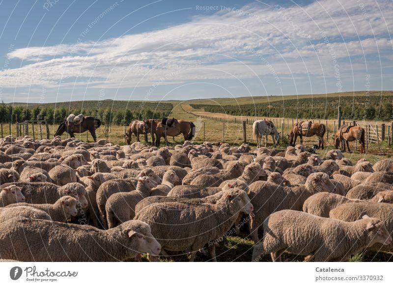 Die zusammengetriebenen Schafe im Pferch warten, Pferde grasen friedlich, und es ist schon heiß an diesem Sommermorgen Schafherde Nutztier Weide Grasland