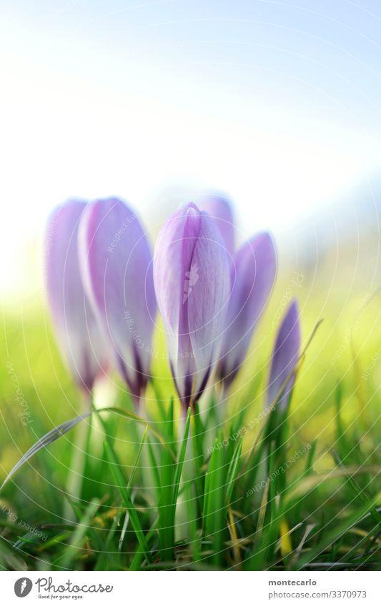 ... und noch eins Umwelt Natur Pflanze Frühling Schönes Wetter Blume Gras Blatt Grünpflanze Wildpflanze Krokusse Duft dünn authentisch schön klein nah natürlich
