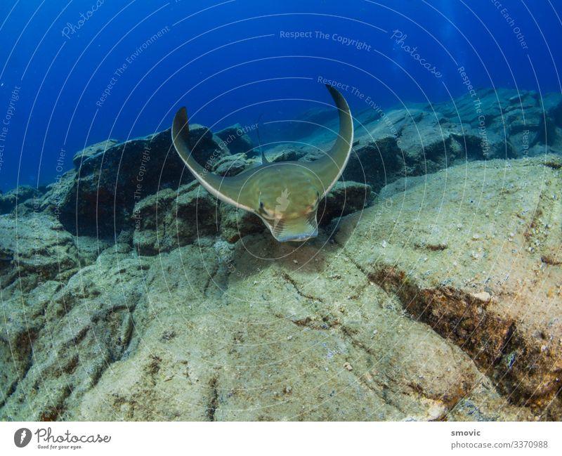Adlerauge schwimmt in der Nähe des felsigen Bodens Reichtum schön Ferien & Urlaub & Reisen Sommer Strand Meer Insel tauchen Natur Tier Sand Wolken
