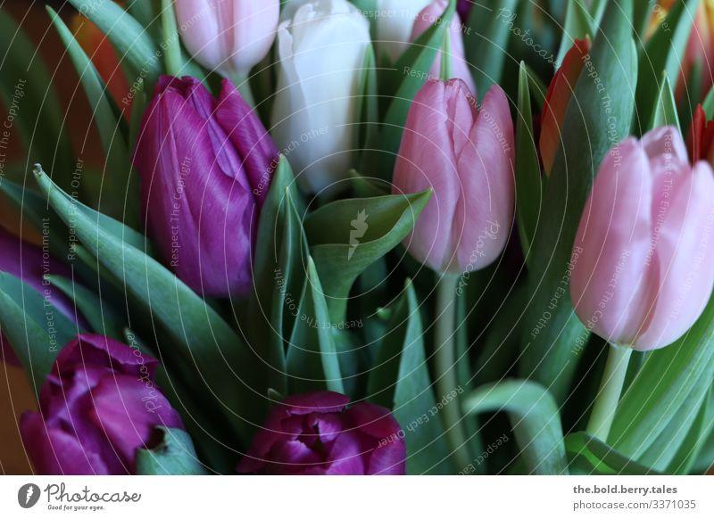 Tulpen lila-rosa Pflanze Blume Blüte Freundlichkeit Fröhlichkeit frisch schön grün violett Optimismus Leben Farbe Freude Farbfoto mehrfarbig Innenaufnahme
