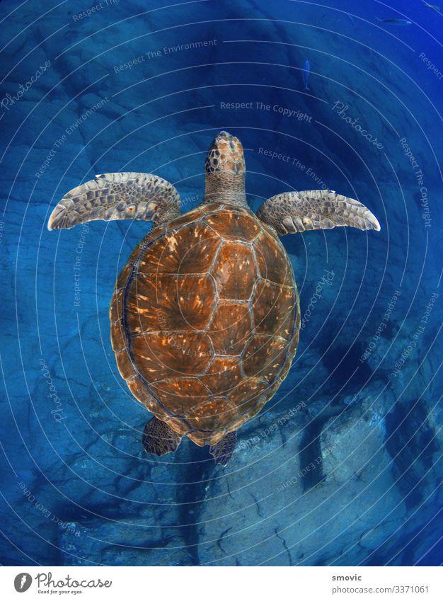 Grüne Schildkröte (Chelonia mydas) exotisch Freude Ferien & Urlaub & Reisen Strand Meer Natur Pflanze Tier Wärme Küste Farbe Dummkopf übersichtlich Windstille