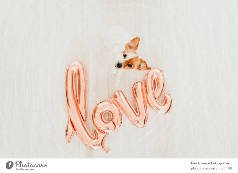 Porträt eines süßen kleinen Jack-Russell-Hundes zu Hause mit einem LOVE-Ballon daneben. Valentines-Konzept Luftballon Liebe Valentinsgruß Februar 14 Schnauze