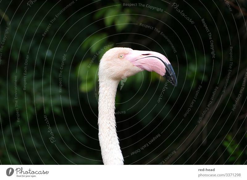 hellrosa Flamingo (Kopf und Hals)  im Profil vor dunkelgrünem Hintergrund, Blick nach rechts beobachten Natur Tier Park Vogel Tiergesicht Zoo 1 ästhetisch