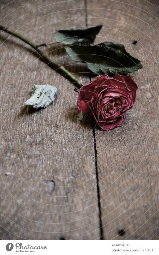abgestorben | einzelne verwelkte rote Rose verwelken vergänglich Liebesbeziehung Liebeskummer Scheidung Trennung Streit Ehestreit Ehekrach Beziehung