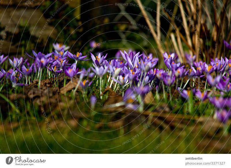 Frühblüher Blume Blühend Blüte Garten Gras Schrebergarten Menschenleer Natur Pflanze Rasen ruhig Textfreiraum Tiefenschärfe Wiese Kleingartenkolonie