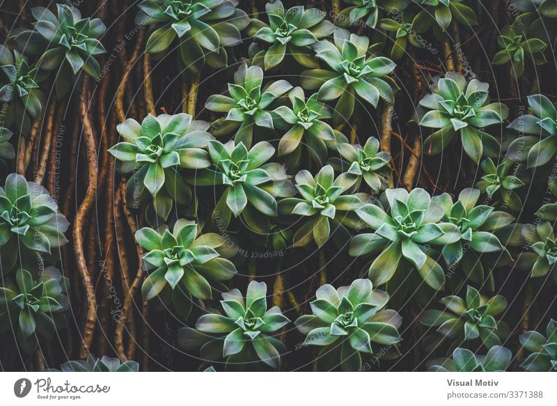 Sedum Palmeri Sukkulentenpflanzen exotisch schön Leben ruhig Garten Umwelt Natur Pflanze Blatt Park Wachstum einfach frisch natürlich grün Farbe