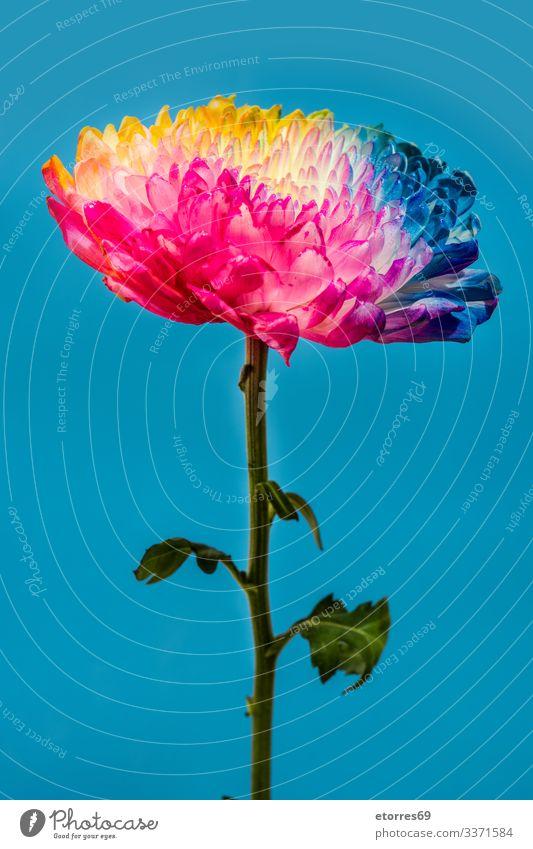 Mehrfarbige Blumen aromatisch Hintergrund neutral schön blau Chrysantheme Farbe mehrfarbig Textfreiraum Gänseblümchen Dekoration & Verzierung Pflanze geblümt