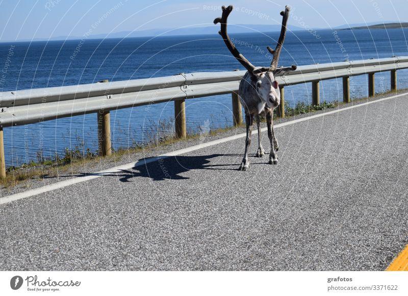 Hello Reindeer Lifestyle Stil Ferien & Urlaub & Reisen Tourismus Ausflug Abenteuer Sommer Meer Tier Rentier 1 hängen Blick lustig Neugier blau gelb grau