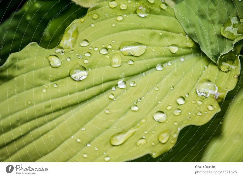 Regentropfen auf einem grünen Blatt Natur Tier Sommer Pflanze Grünpflanze Wasser glänzend Reflexion & Spiegelung Farbfoto Außenaufnahme Detailaufnahme Muster