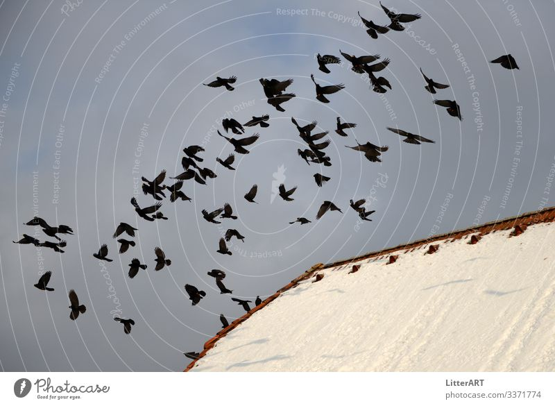 Auffliegende Alpendohlen . Pyrrhocorax graculus Winter Dorf Haus Dach Tier Vogel Schwarm frei kalt schwarz weiß alpendohlen Dohle Freiheit vogelschwarm