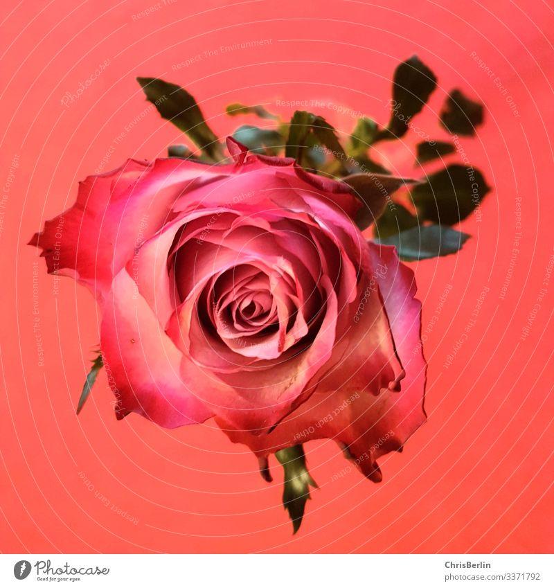 Rose Pflanze Blume Blüte ästhetisch außergewöhnlich rosa rot Liebe Reichtum Perspektive interessant Farbfoto Innenaufnahme Detailaufnahme Kunstlicht Romantik