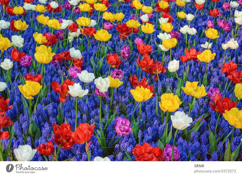 Blumen Anthesis Blütezeit Überstrahlung aufblühen Blühend Glockenblume Zwiebelpflanze Echte Kamille ökologisch Ökologie Ökosystem Umwelt umgebungsbedingt Flora