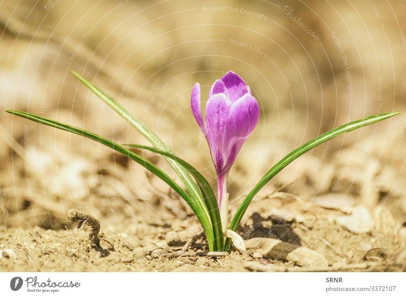 Krokus Anthesis Blütezeit Überstrahlung aufblühen Blühend Krokusse ökologisch Ökologie Ökosystem Umwelt umgebungsbedingt Flora geblümt gedeihen Blume Blütenkopf