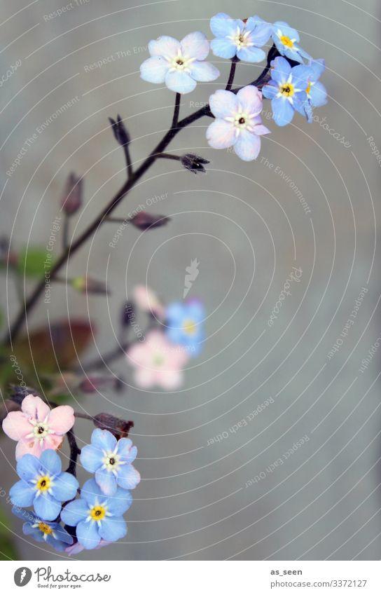 Vergiss mein nicht Vergißmeinnicht Vergißmeinnichtblüte Frühling Pflanze Farbfoto Natur Blühend Blume Blüte blau Außenaufnahme Menschenleer Sommer schön