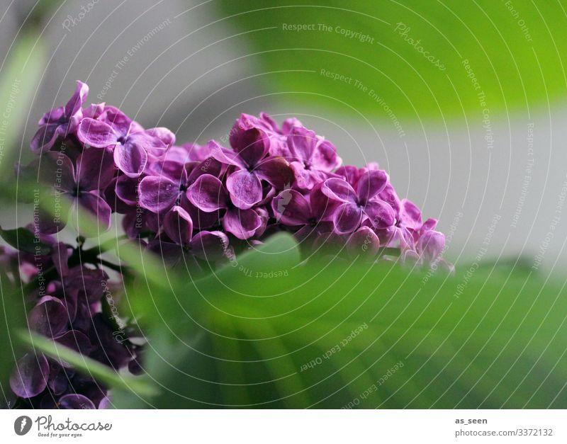 Flieder Fliederbusch Fiieder Blüte Pflanze Natur violett Nahaufnahme Frühling Farbfoto Außenaufnahme Sommer Makroaufnahme Menschenleer Schwache Tiefenschärfe