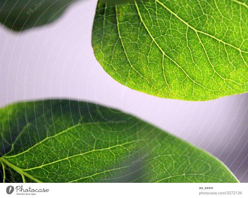 Blätter Fliederbusch Blatt Blattadern Pflanze grün Makroaufnahme Natur Detailaufnahme Schwache Tiefenschärfe Menschenleer Farbfoto Nahaufnahme