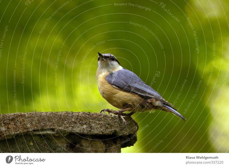 Was guckst du immer noch? Umwelt Natur Tier Frühling Wald Wildtier Vogel Tiergesicht Kleiber 1 beobachten sitzen blau braun grau grün orange Schnabel Feder