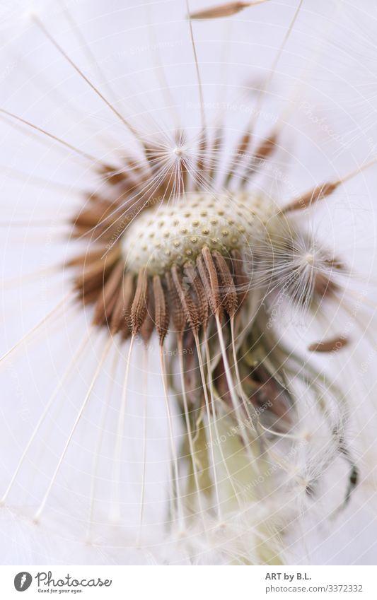 Pusteblume Nahaufnahme macro pusteblume Butterblume menschleer natur pflanze frühling sommer außenaufnahme nahaufnahme tag löwenzahn samen flieger leichtigkeit