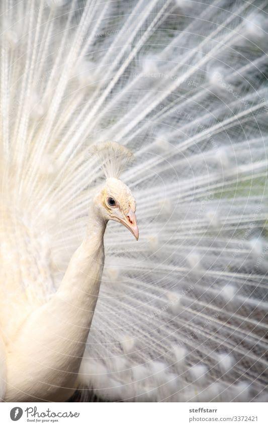 Weißer Pfau Pavo Albus-Vogel Reichtum schön Tier Wildtier Tiergesicht Flügel 1 weiß weißer Pfau Mutation seltener Vogel Anzeige weiße Federn Federn ausgebreitet