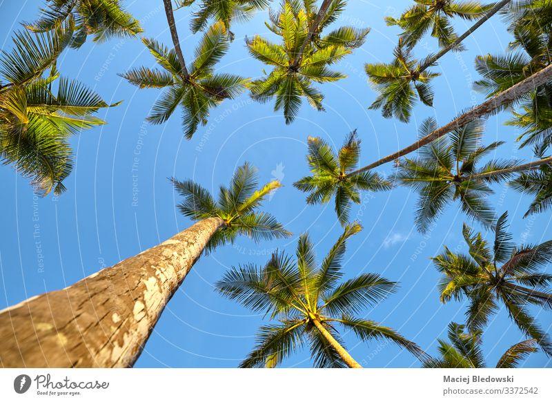 Der Blick auf die Kokospalmen. exotisch Ferien & Urlaub & Reisen Tourismus Ausflug Abenteuer Expedition Sommer Sommerurlaub Insel Natur Pflanze Himmel Baum