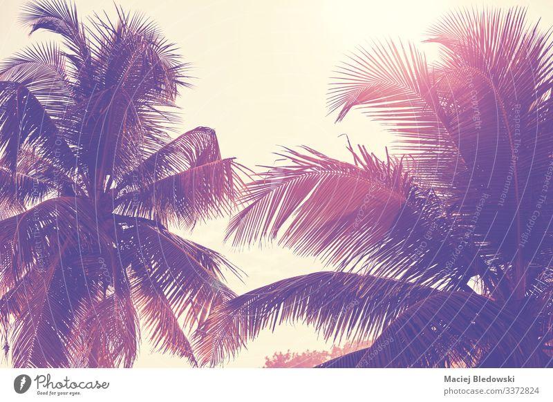 Palmenblätter gegen die Sonne. exotisch Ferien & Urlaub & Reisen Sommer Sommerurlaub Strand Insel Natur Pflanze Himmel Baum Blatt Abenteuer Handfläche tropisch