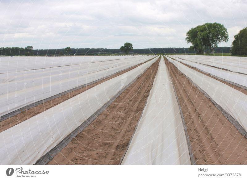 mit Folie abgedeckte Reihen auf einem Spargelfeld Landwirtschaft Spargelanbau Feld Außenaufnahme Farbfoto Landschaft Natur Umwelt Ackerbau Nutzpflanze Frühling