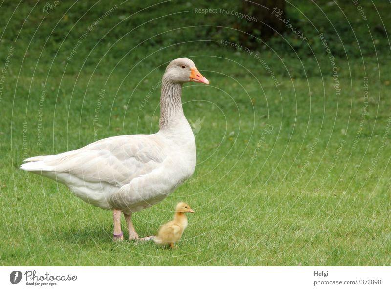 eine Gans steht mit ihrem winzigen Küken auf der Wiese Vogel Gänseküken Tier Jungtier Natur Landwirtschaft Gras Außenaufnahme menschenleer Tierporträt niedlich