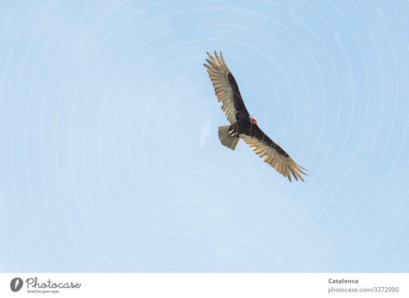 Abgehoben | Geier Natur Tier nur Himmel Wolkenloser Himmel Sommer Wildtier Vogel Aasfresser Truthahngeier Neueweltgeier 1 beobachten fliegen Ferne natürlich