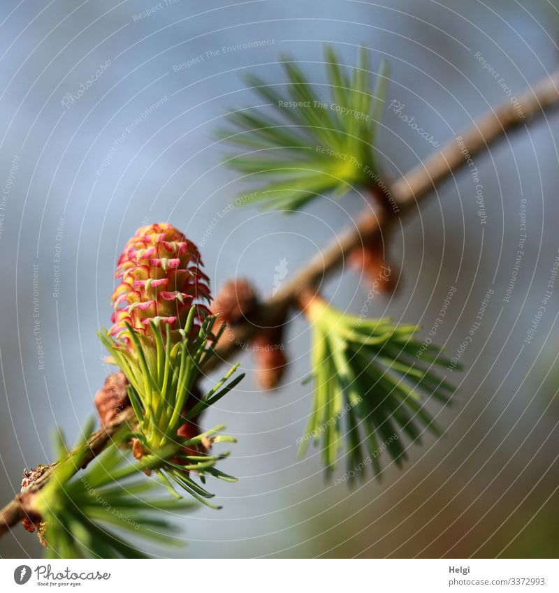 Lärchenzweig  mit Lärchenblüte im Frühling Umwelt Natur Pflanze Himmel Schönes Wetter Baum Blüte Wildpflanze Zweig Wald Blühend Wachstum ästhetisch