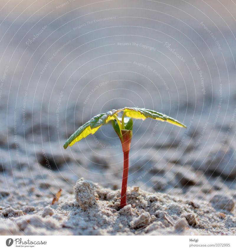Pflänzchen wächst aus dem Sandboden Pflanze Sämling Natur Umwelt Frühling natürlich Blatt schwache Tiefenschärfe Nahaufnahme Grünpflanze menschenleer
