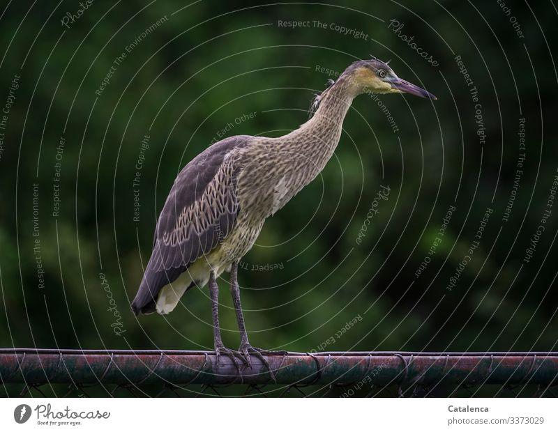 Ein Reiher steht auf dem Zaun und schaut neugierig Natur Fauna Tier Wildtier Vogel Reiher stehen beobachten schauen Neugierde Metall Pflanze Blätter Tag
