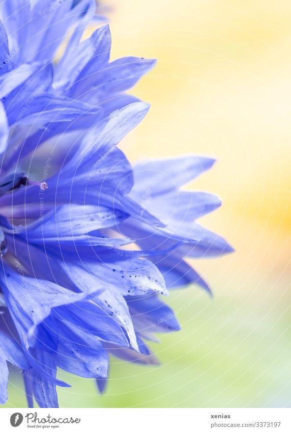 Halbe blaue Kornblume vor gelb-grünen Hintergrund Blume Blüte Blühend hell Detailaufnahme Makroaufnahme Textfreiraum rechts Schwache Tiefenschärfe Natur