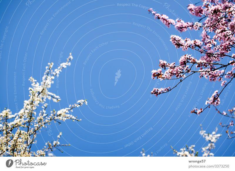 Kirschblüte Pflanze Himmel Wolkenloser Himmel Frühling Schönes Wetter Baum Blüte Zierkirsche Park Blühend blau rosa weiß Frühlingsgefühle Kirschblüten