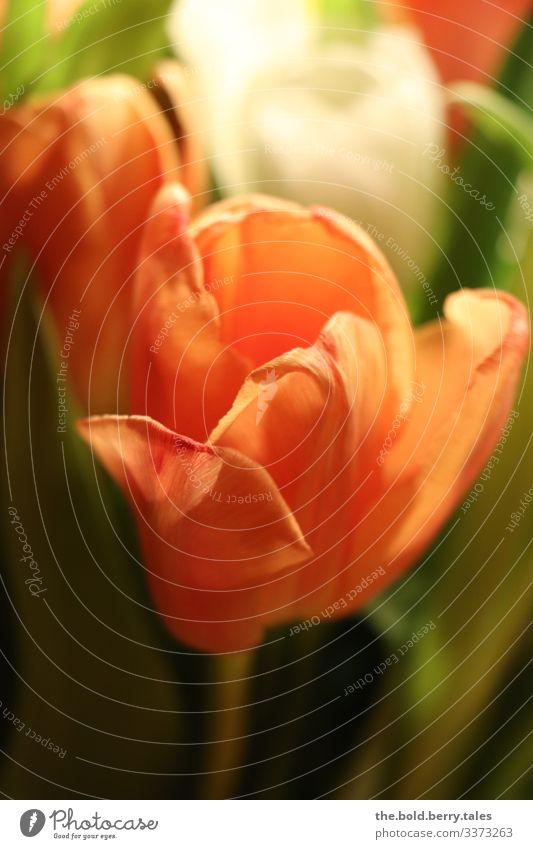 Tulpe orange Pflanze Frühling Blume Blüte Freundlichkeit Fröhlichkeit frisch schön grün Lebensfreude Frühlingsgefühle Farbe Freude Optimismus Farbfoto